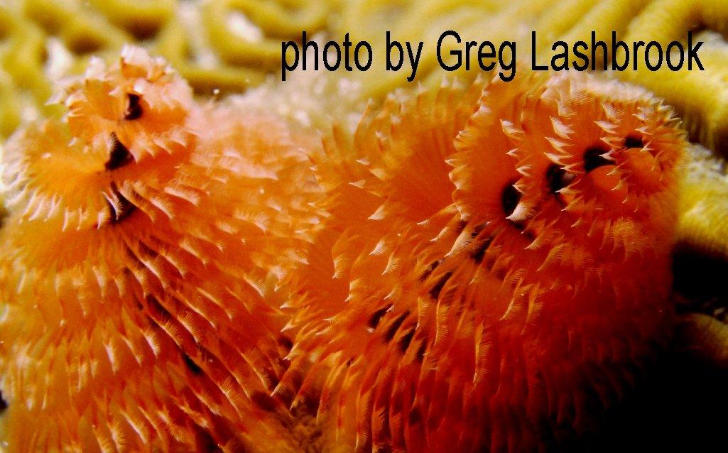 Close-up photo of orange tube worms underwater