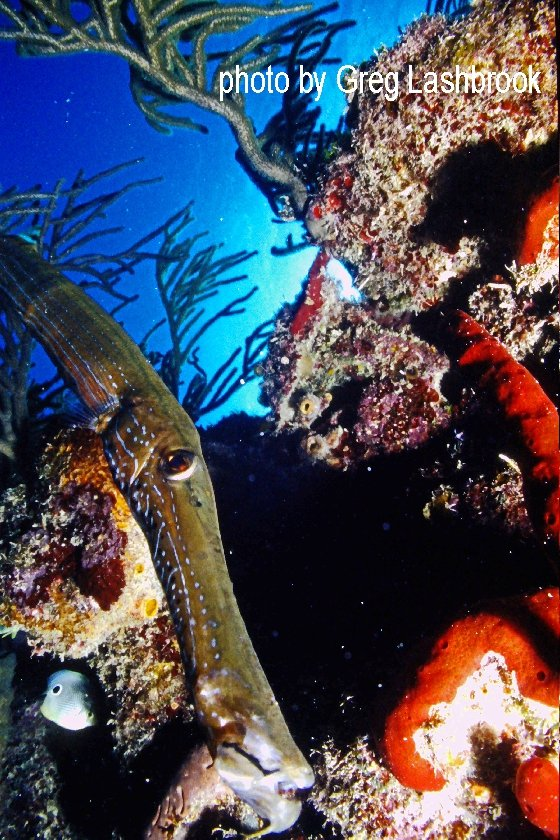 Coral reef with a long skinny trumpet fish
