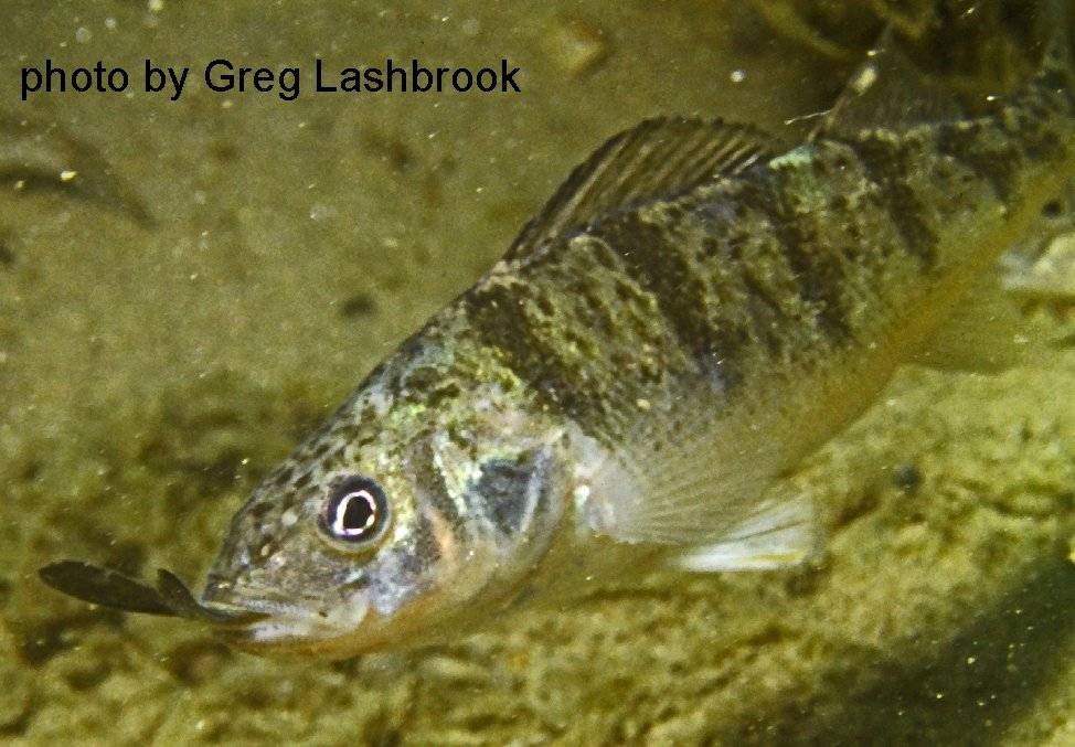 Yellow perch with a minnow's tail sticking out of it's mouth