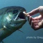 Underwater image of a person hand feeding a steelhead