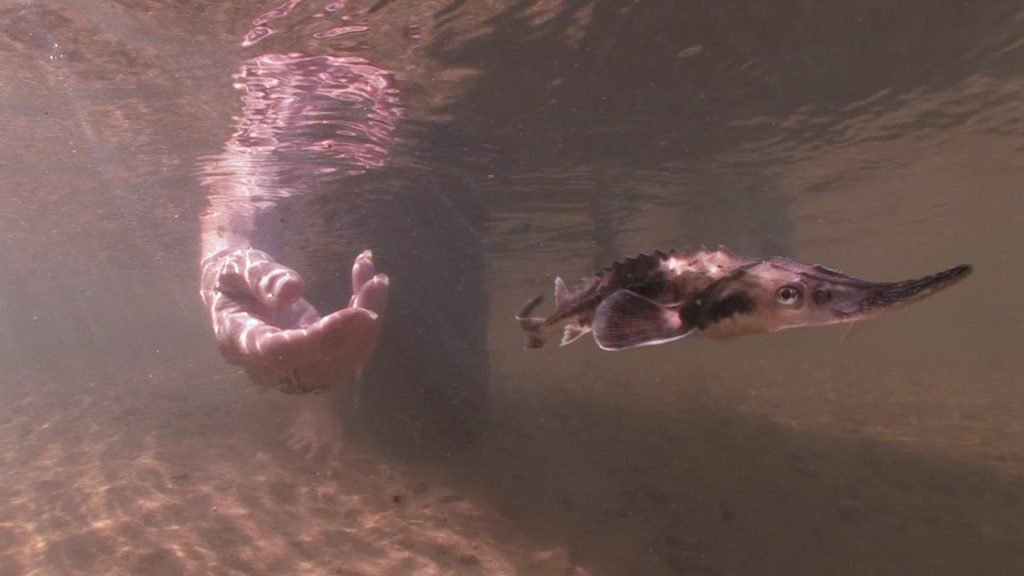 underwater image of Kathy Johnson's hand as she releases a juvenile lake sturgeon